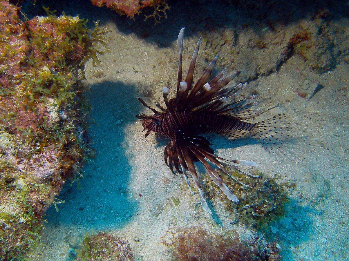 Rotfeuerfisch im Ladeanflug