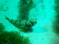 Eidechsenfisch