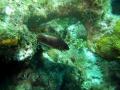 Karibischer Eichhörnchenfisch