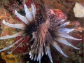 Rotfeuerfisch 3