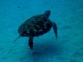 Schildkröte D