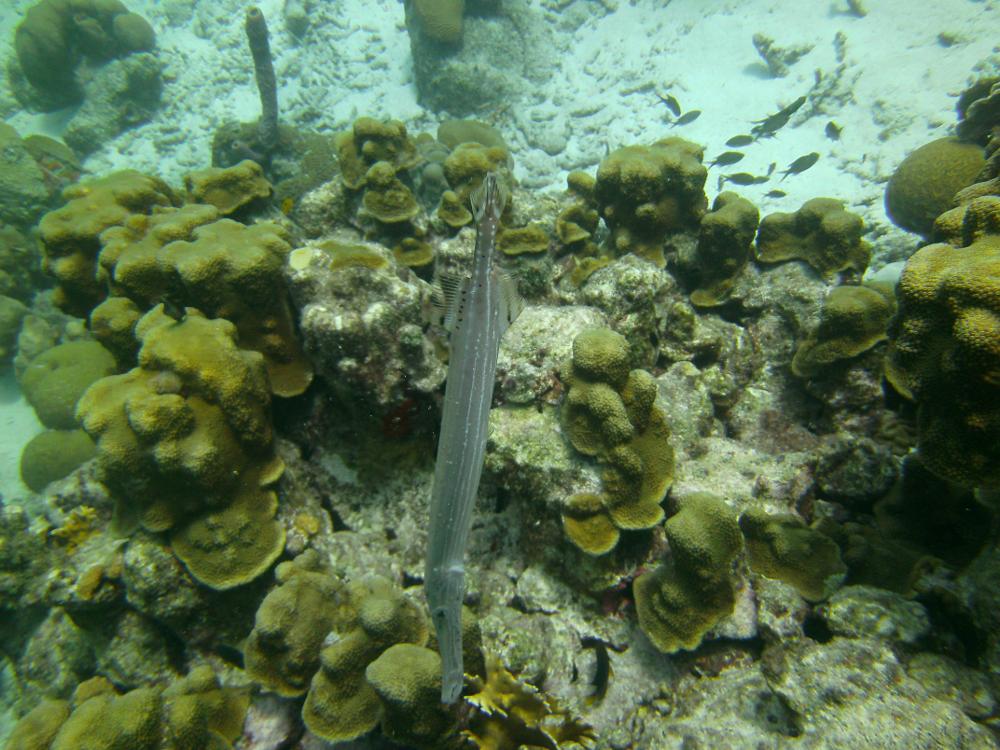 Floetenfisch